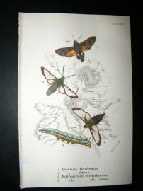 Allen & Kirby 1890's Antique Moth Print. Hemaris Fuciforms
